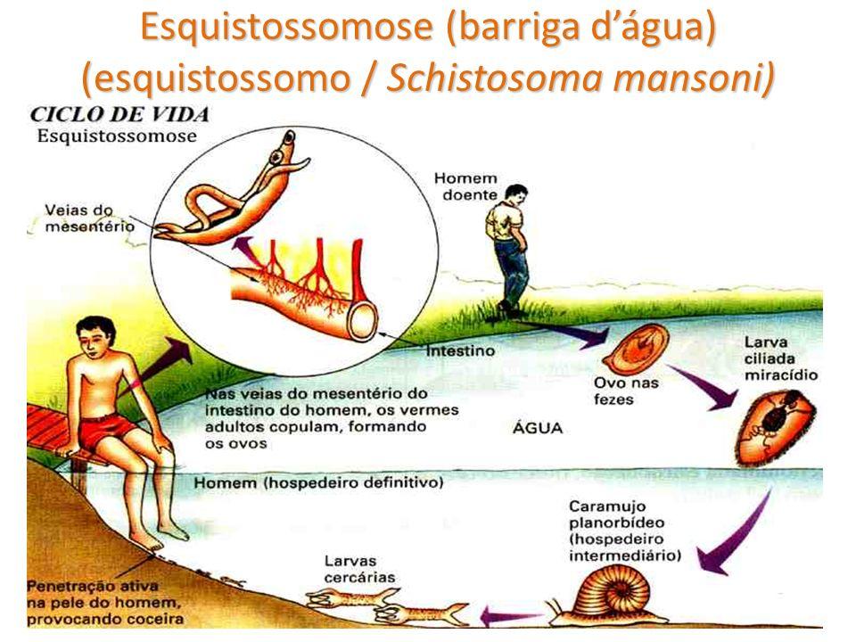 Esquistossomose (barriga d'água) (esquistossomo / Schistosoma mansoni)