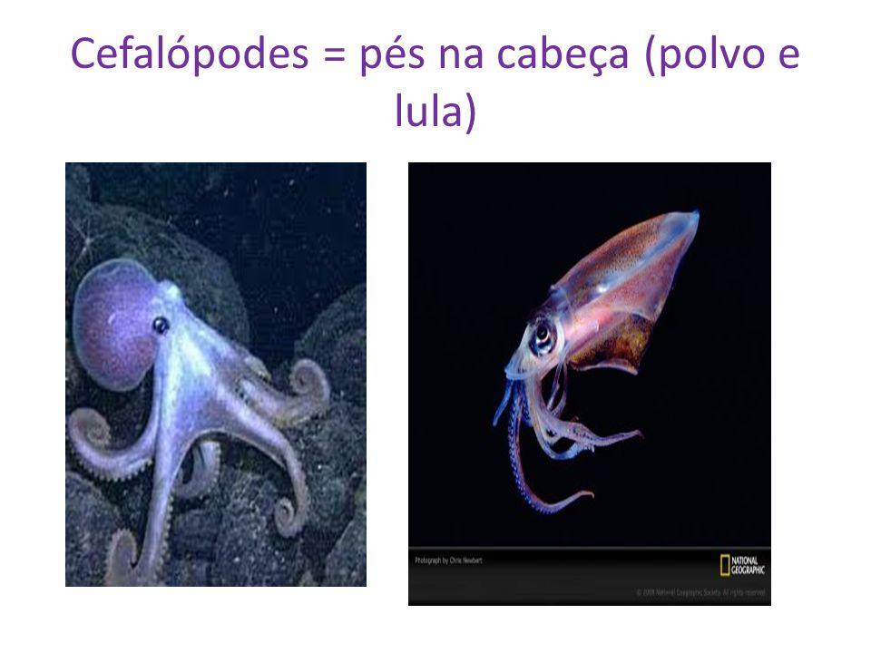 Cefalópodes = pés na cabeça (polvo e lula)