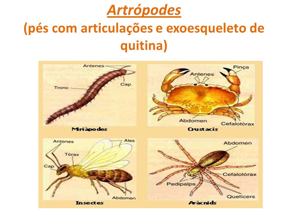 Artrópodes (pés com articulações e exoesqueleto de quitina)