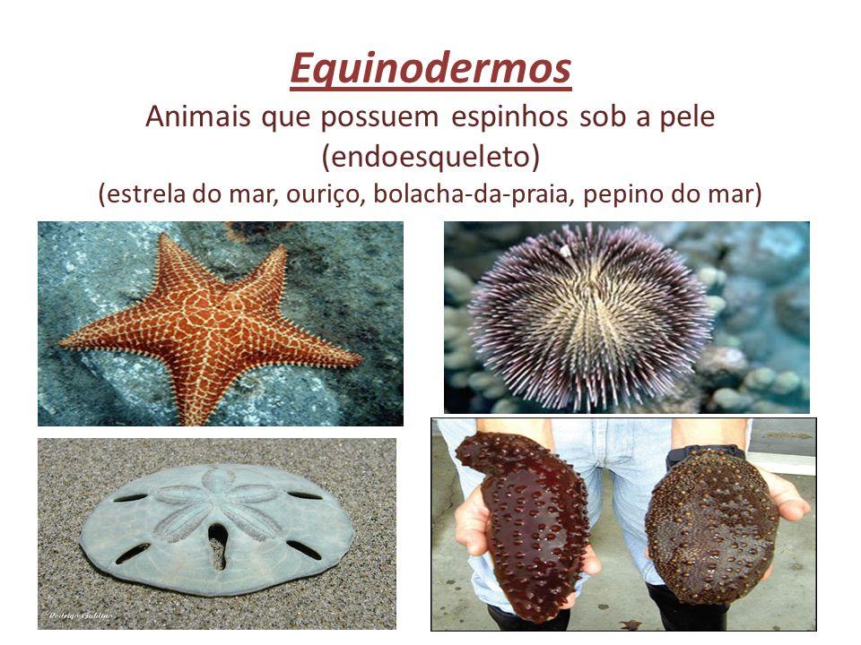 Equinodermos Animais que possuem espinhos sob a pele (endoesqueleto) (estrela do mar, ouriço, bolacha-da-praia, pepino do mar)