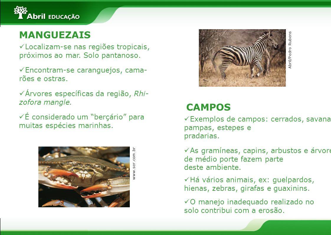 MANGUEZAISLocalizam-se nas regiões tropicais, próximos ao mar. Solo pantanoso. Abril/Pedro Rubens. Encontram-se caranguejos, cama-