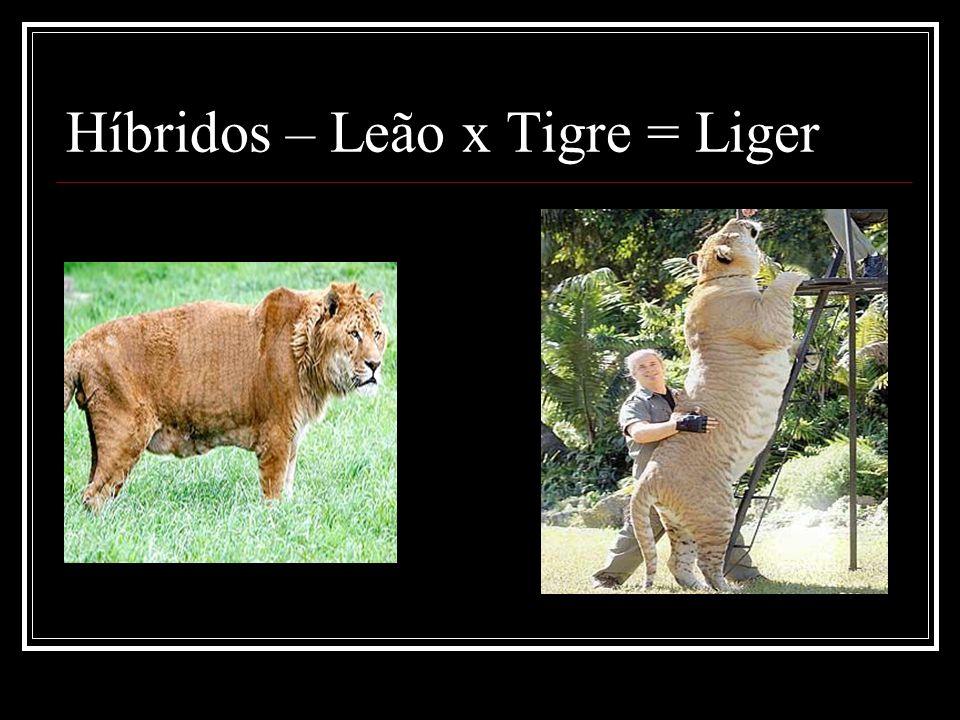 Híbridos – Leão x Tigre = Liger