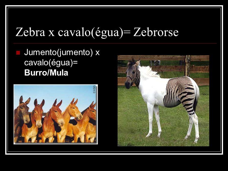 Zebra x cavalo(égua)= Zebrorse