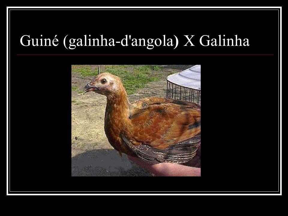Guiné (galinha-d angola) X Galinha
