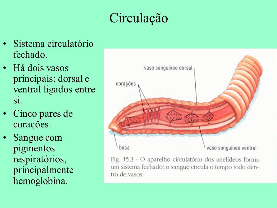 Circulação Sistema circulatório fechado.