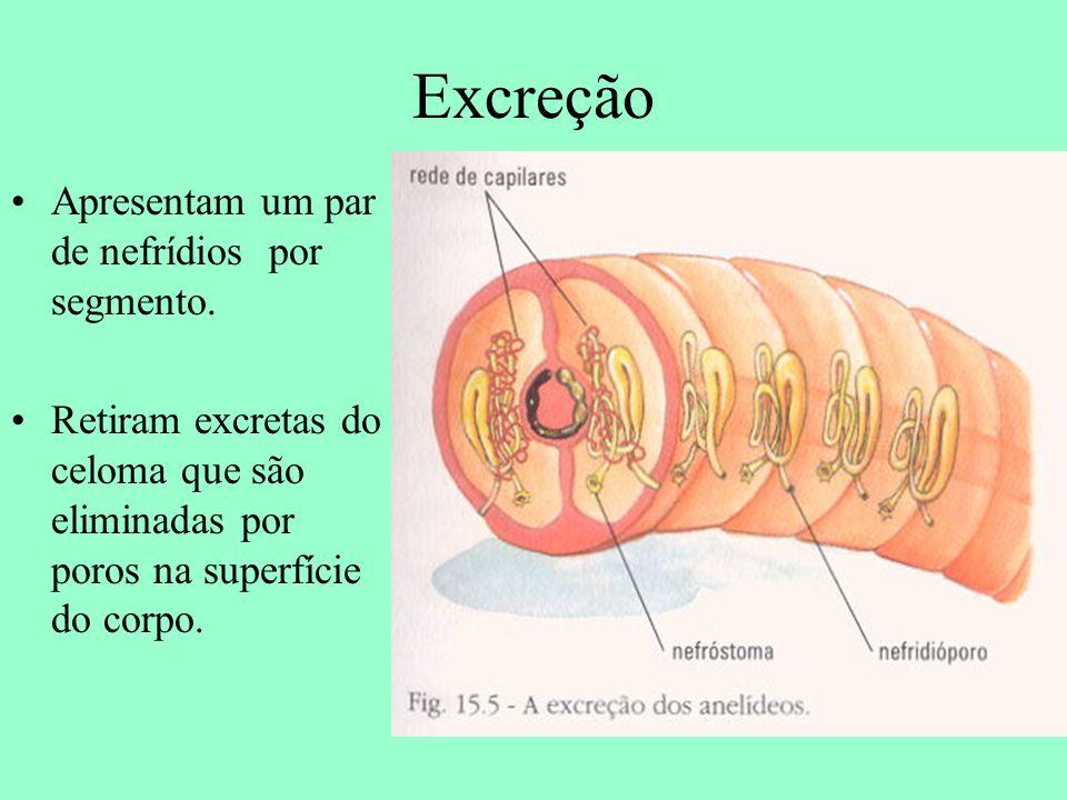 Excreção Apresentam um par de nefrídios por segmento.