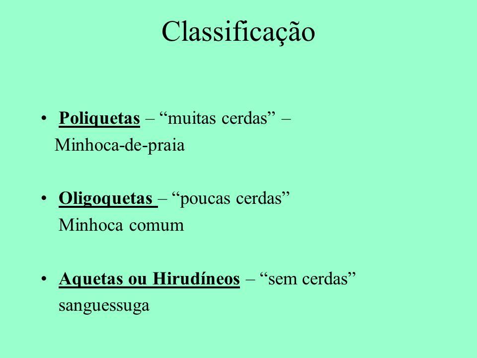 Classificação Poliquetas – muitas cerdas – Minhoca-de-praia