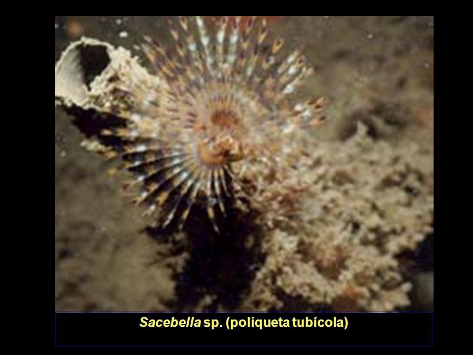 Sacebella sp. (poliqueta tubícola)