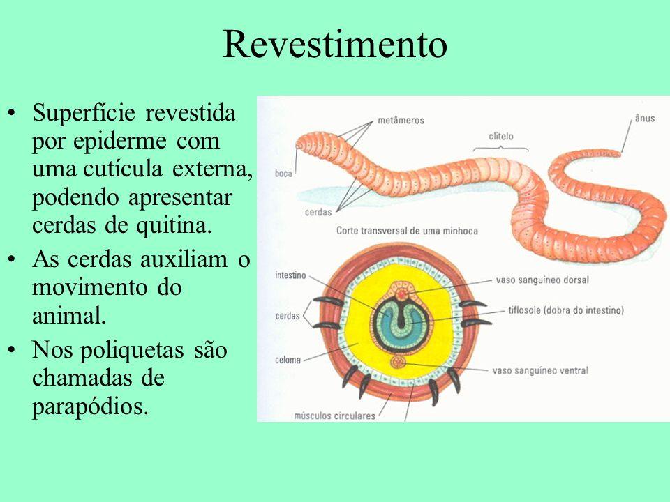 Revestimento Superfície revestida por epiderme com uma cutícula externa, podendo apresentar cerdas de quitina.