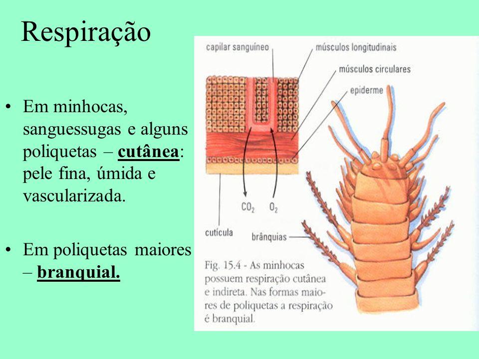 Respiração Em minhocas, sanguessugas e alguns poliquetas – cutânea: pele fina, úmida e vascularizada.
