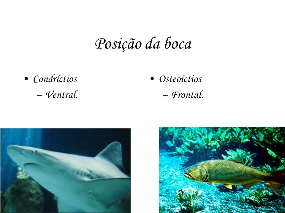 Posição da boca Condríctios Ventral. Osteoíctios Frontal.