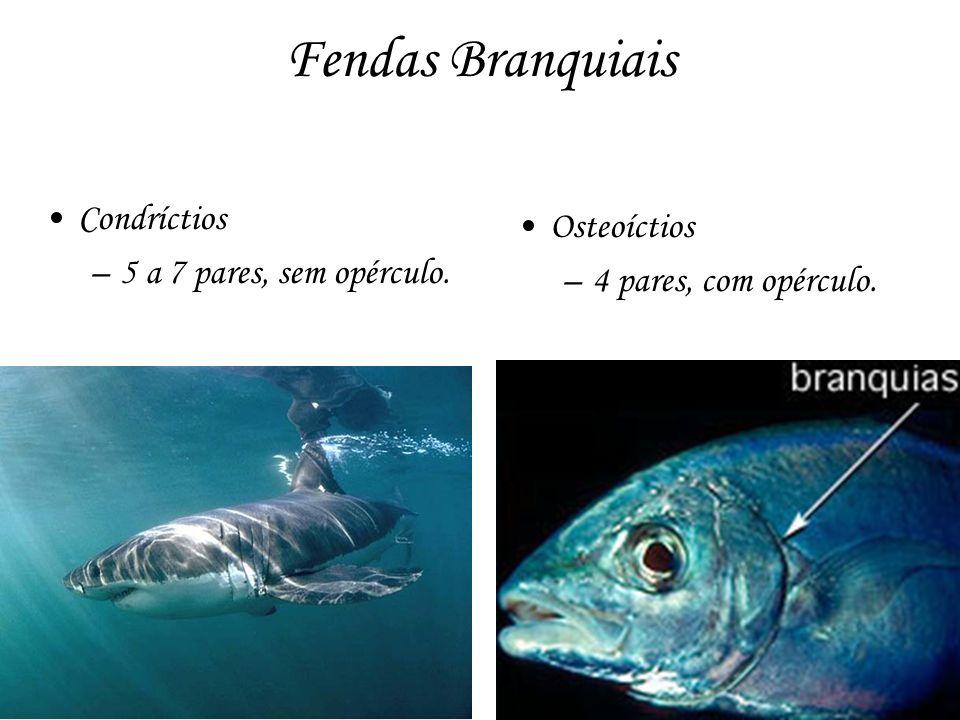 Fendas Branquiais Condríctios Osteoíctios 5 a 7 pares, sem opérculo.