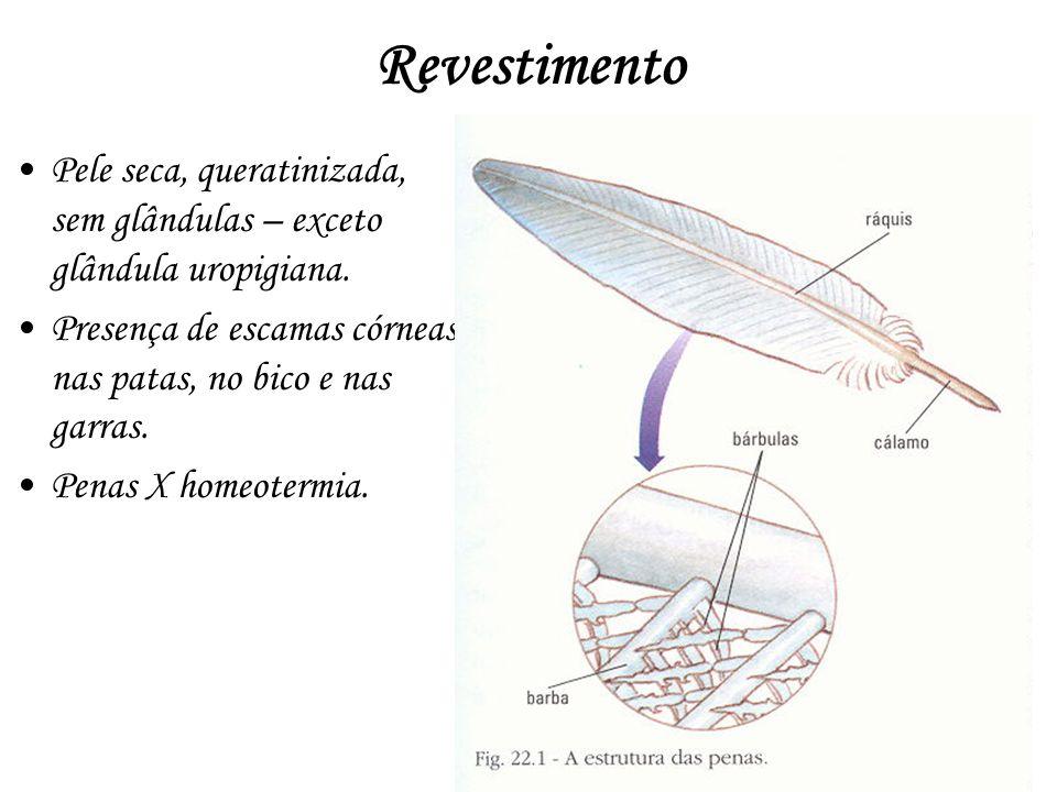 Revestimento Pele seca, queratinizada, sem glândulas – exceto glândula uropigiana. Presença de escamas córneas nas patas, no bico e nas garras.