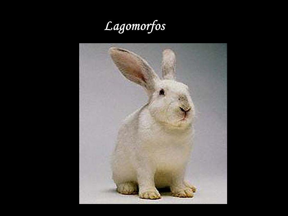 Lagomorfos