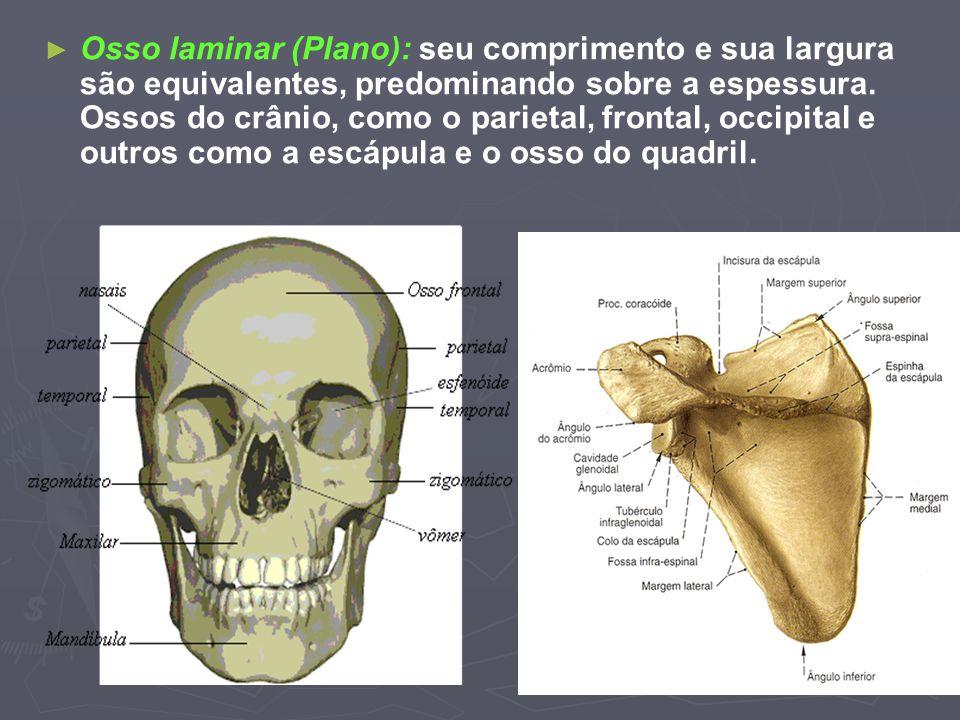 Osso laminar (Plano): seu comprimento e sua largura são equivalentes, predominando sobre a espessura.