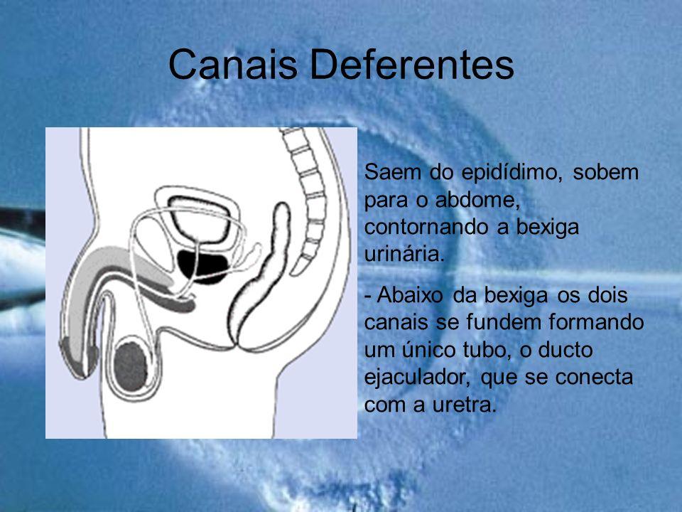 Canais Deferentes Saem do epidídimo, sobem para o abdome, contornando a bexiga urinária.
