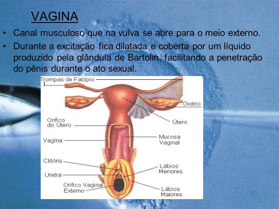 VAGINA Canal musculoso que na vulva se abre para o meio externo.