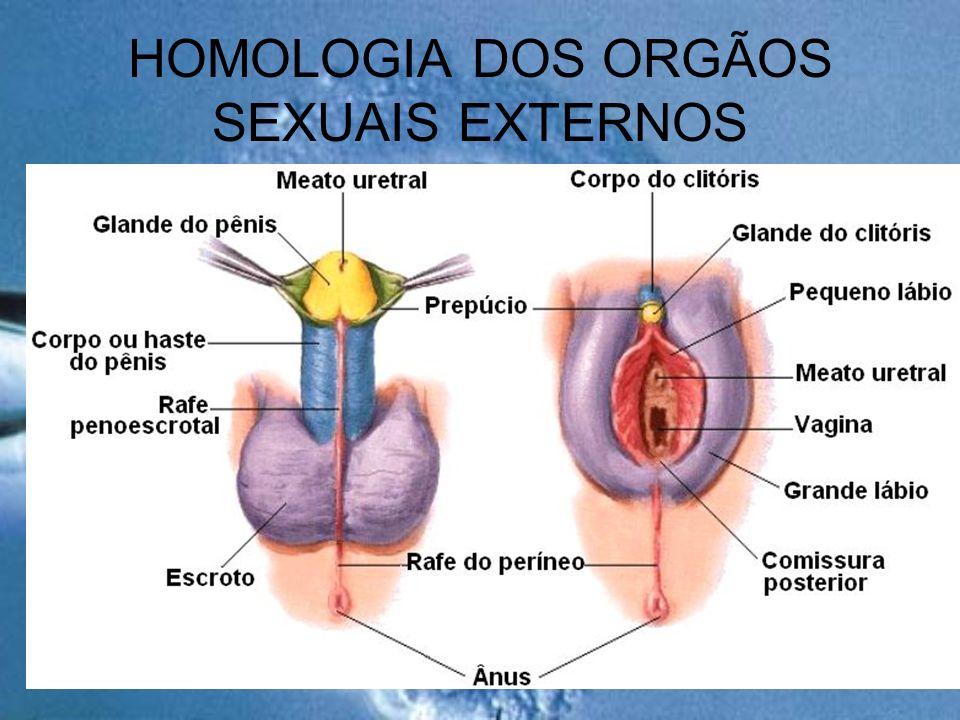 HOMOLOGIA DOS ORGÃOS SEXUAIS EXTERNOS