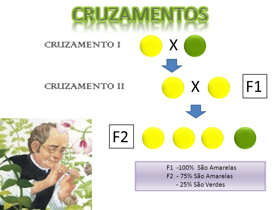 CRUZAMENTOS X X F1 F2 CRUZAMENTO I CRUZAMENTO II F1 -100% São Amarelas