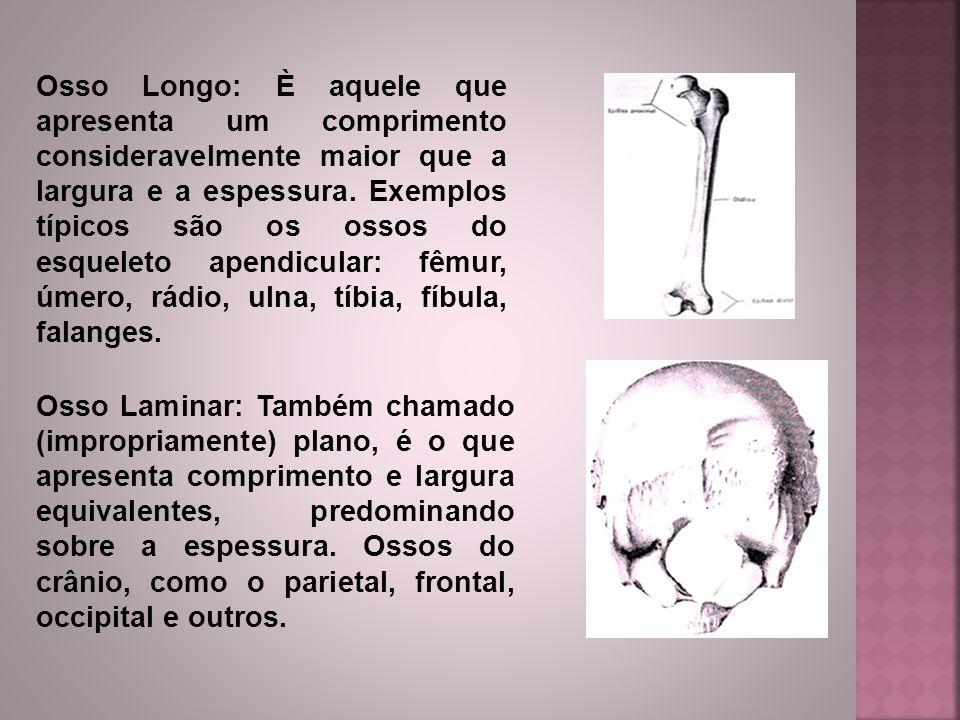 Osso Longo: È aquele que apresenta um comprimento consideravelmente maior que a largura e a espessura. Exemplos típicos são os ossos do esqueleto apendicular: fêmur, úmero, rádio, ulna, tíbia, fíbula, falanges.