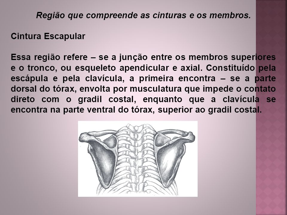 Região que compreende as cinturas e os membros.
