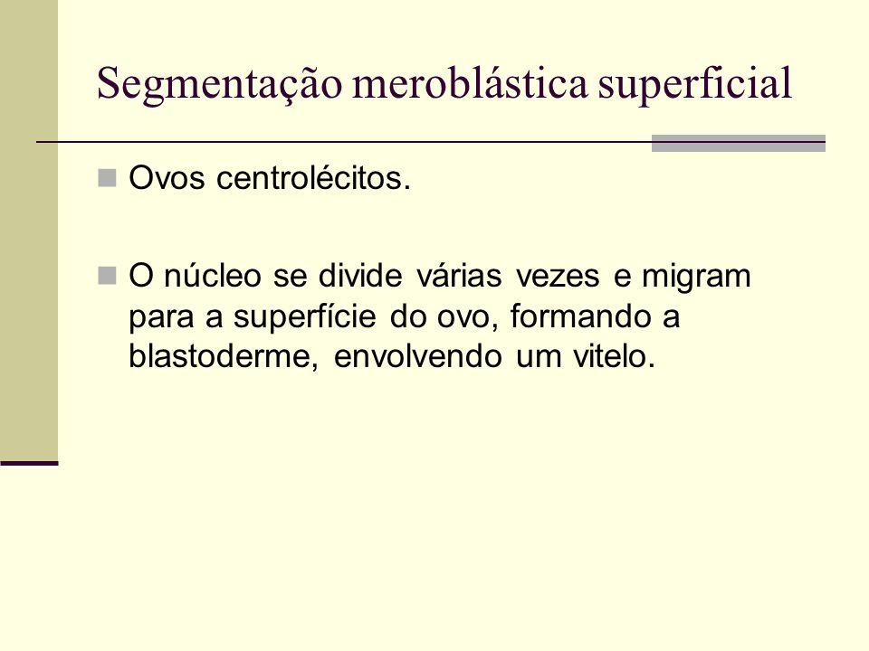 Segmentação meroblástica superficial