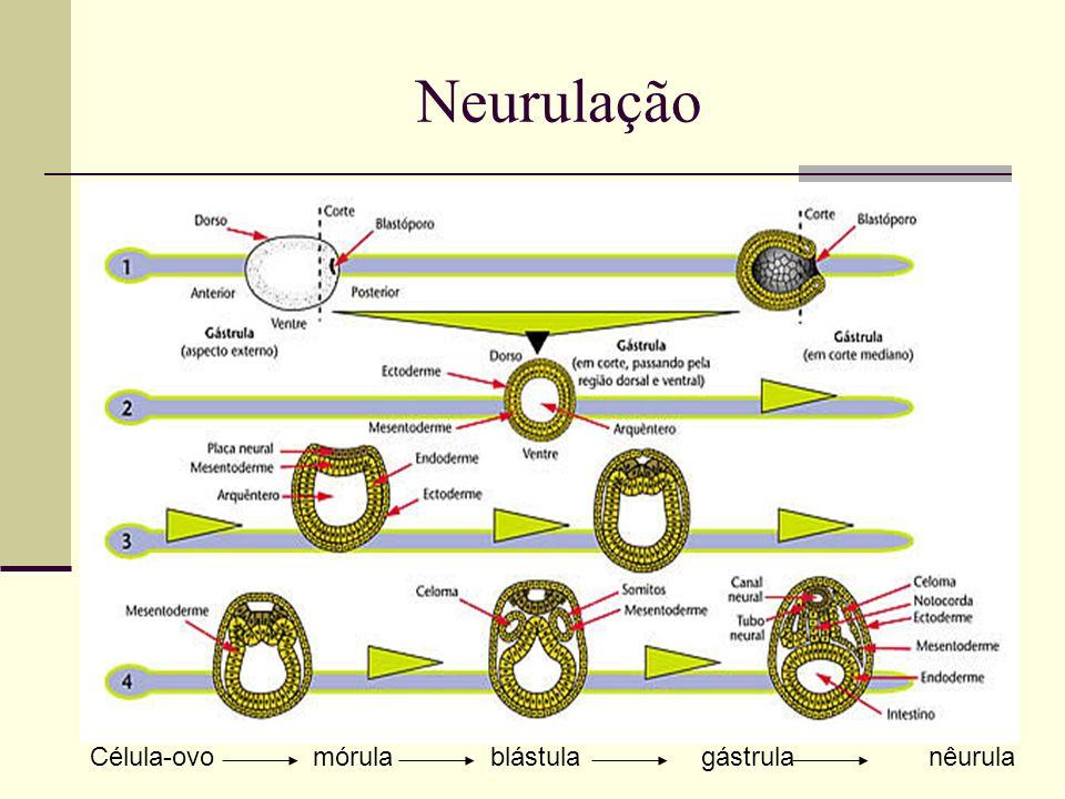 Neurulação Célula-ovo mórula blástula gástrula nêurula.