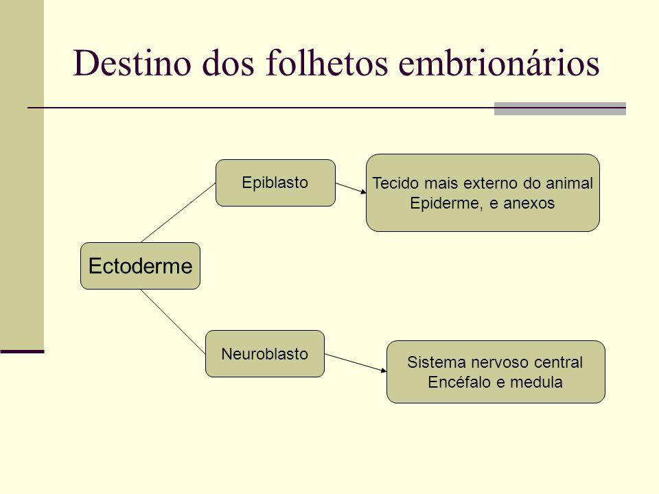 Destino dos folhetos embrionários