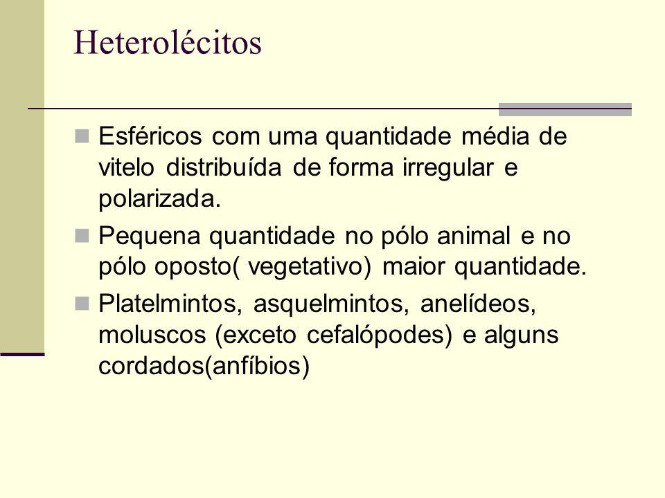 Heterolécitos Esféricos com uma quantidade média de vitelo distribuída de forma irregular e polarizada.