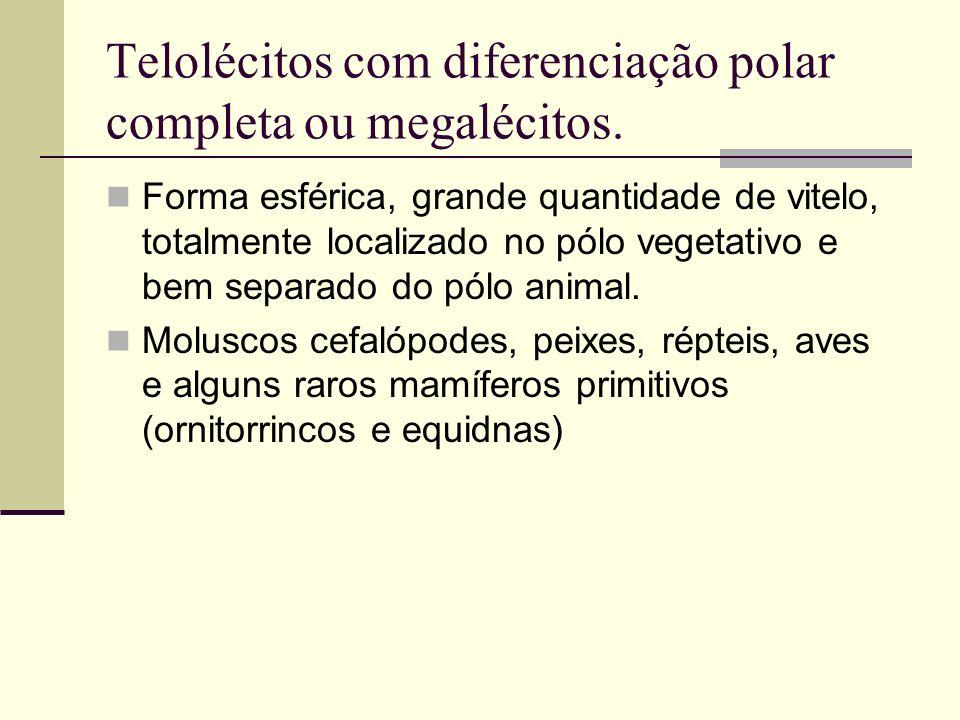 Telolécitos com diferenciação polar completa ou megalécitos.