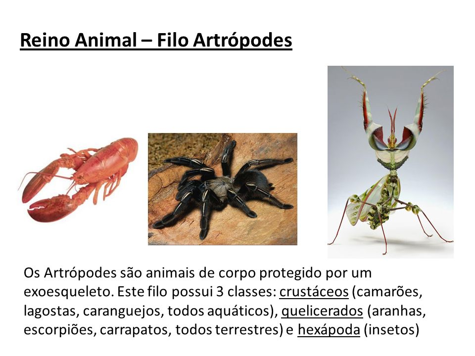 Reino Animal – Filo Artrópodes