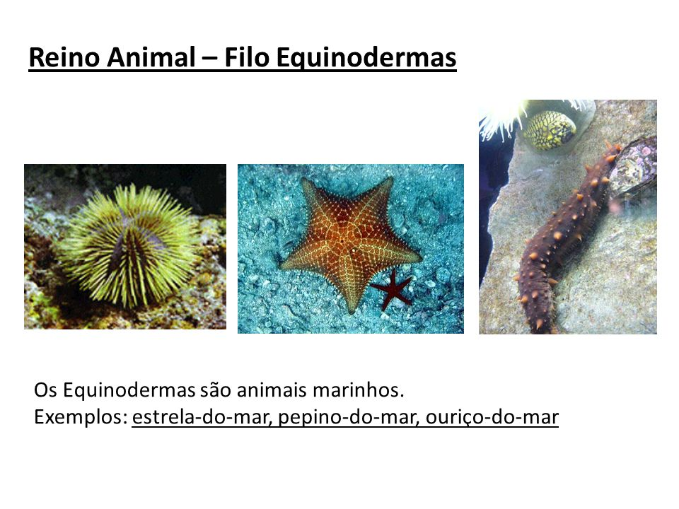 Reino Animal – Filo Equinodermas
