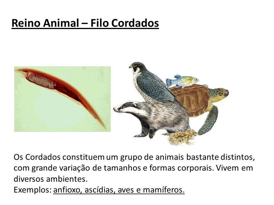 Reino Animal – Filo Cordados