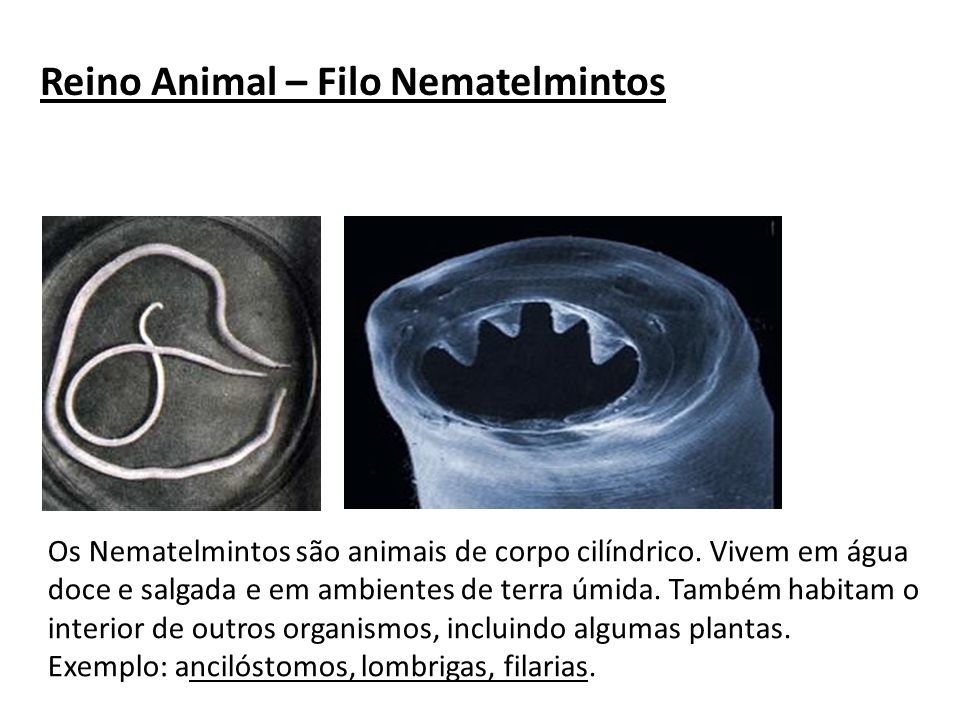 Reino Animal – Filo Nematelmintos