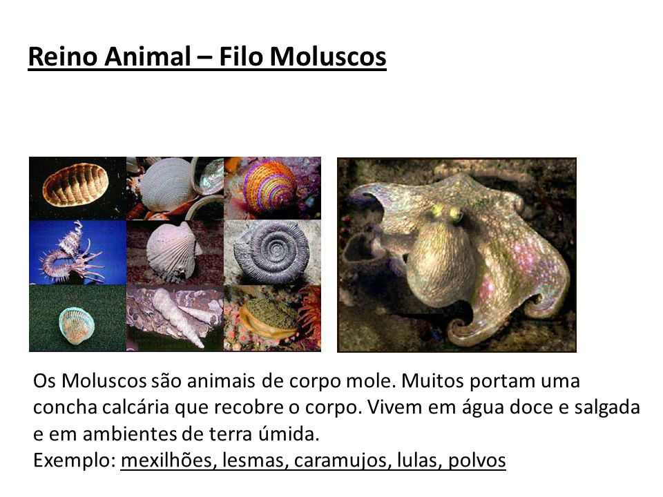 Reino Animal – Filo Moluscos