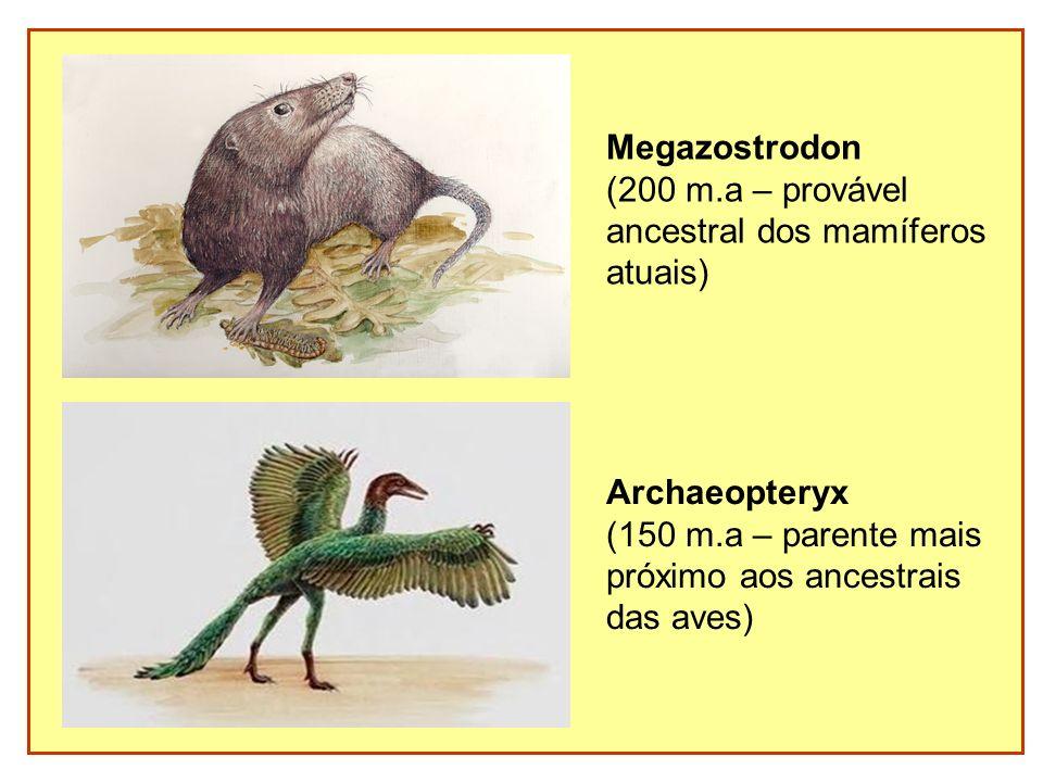 Megazostrodon(200 m.a – provável. ancestral dos mamíferos. atuais) Archaeopteryx. (150 m.a – parente mais.