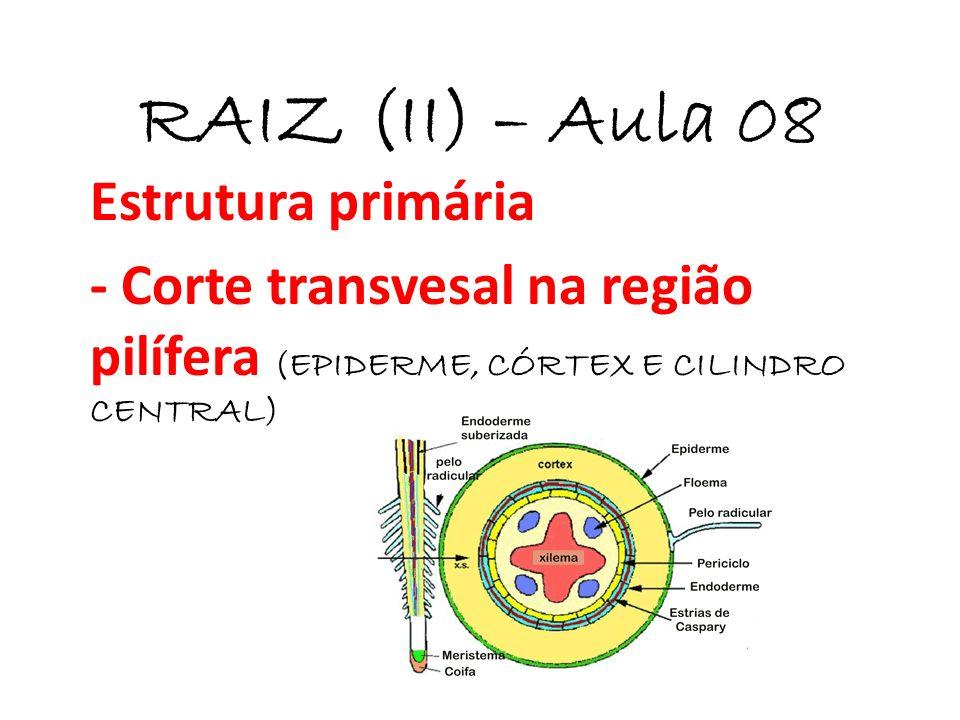 RAIZ (II) – Aula 08 Estrutura primária