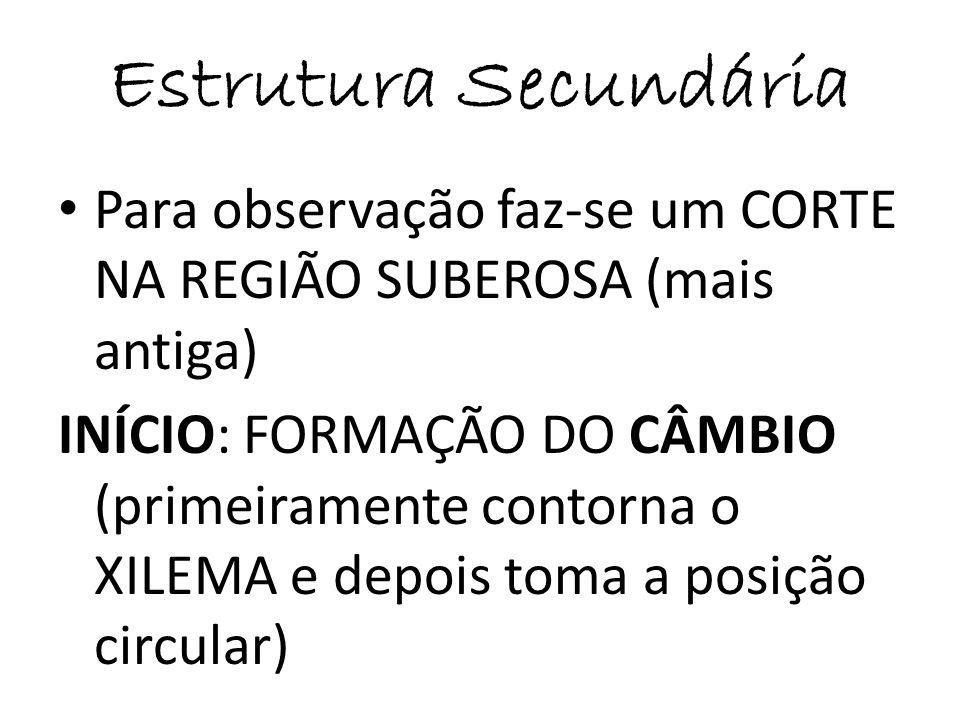 Estrutura Secundária Para observação faz-se um CORTE NA REGIÃO SUBEROSA (mais antiga)