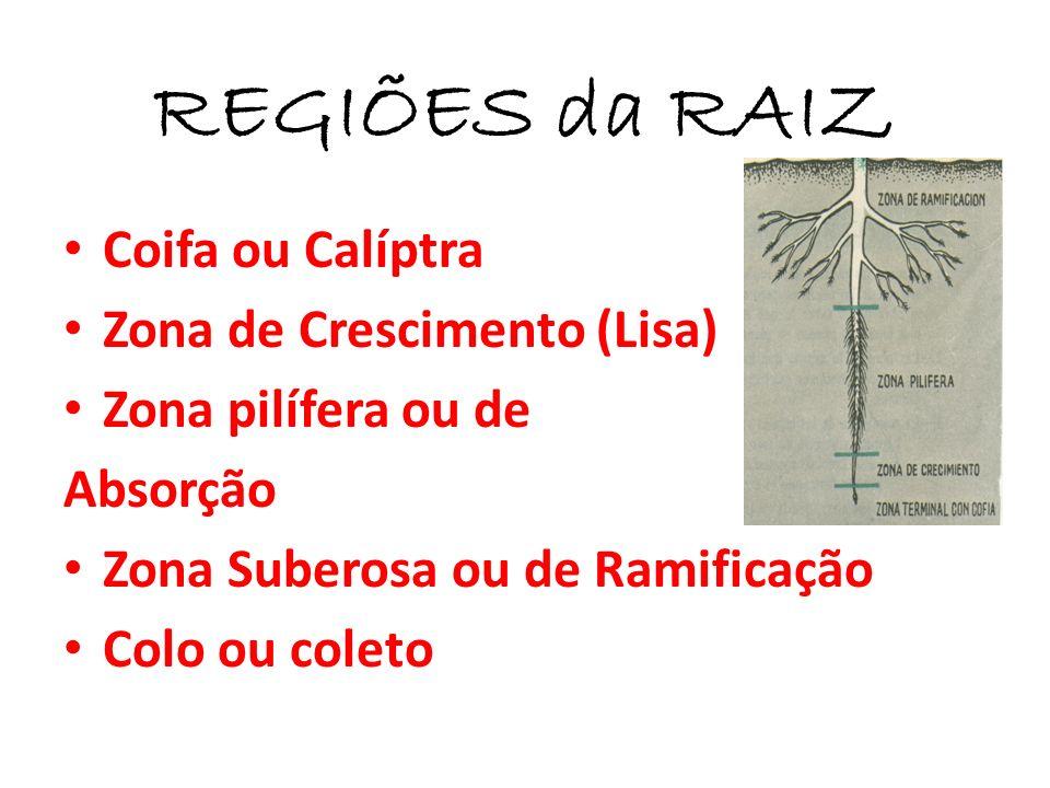 REGIÕES da RAIZ Coifa ou Calíptra Zona de Crescimento (Lisa)