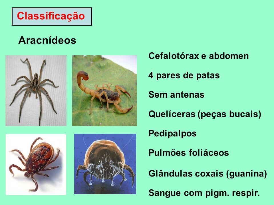 Classificação Aracnídeos Cefalotórax e abdomen 4 pares de patas