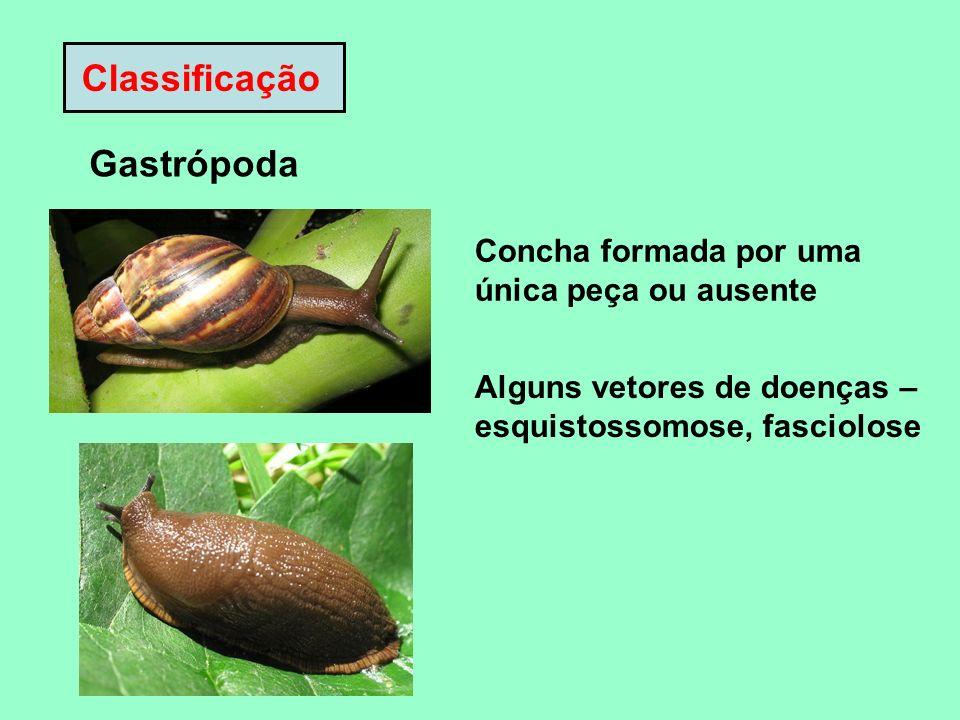 Classificação Gastrópoda Concha formada por uma única peça ou ausente