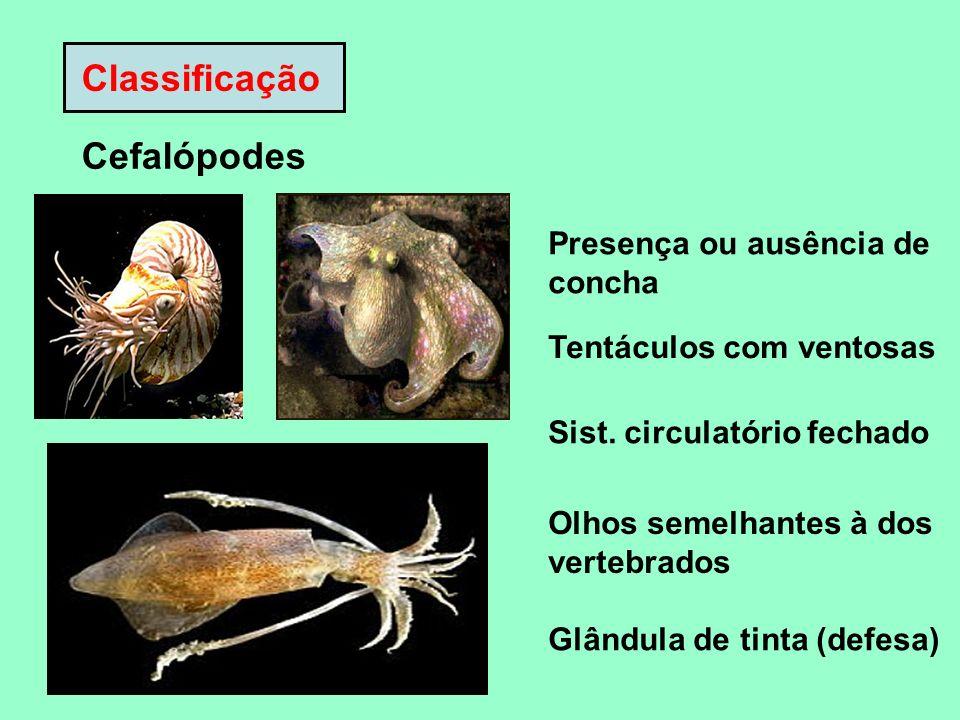 Classificação Cefalópodes Presença ou ausência de concha