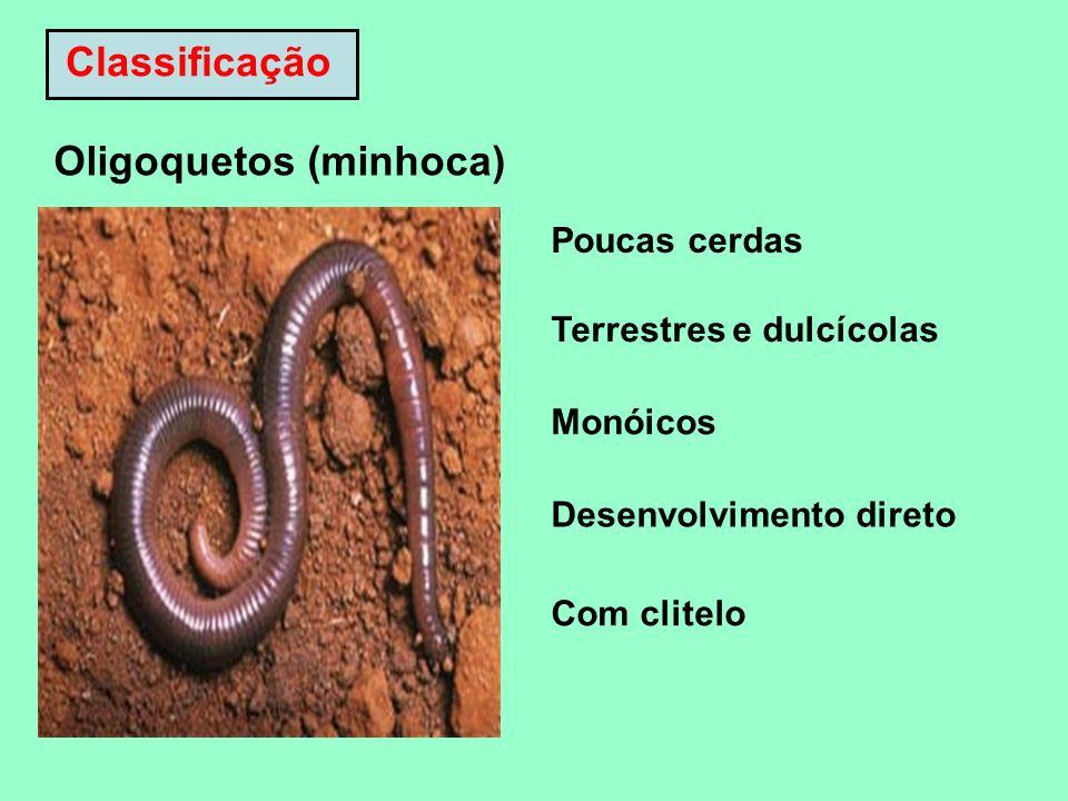 Oligoquetos (minhoca)