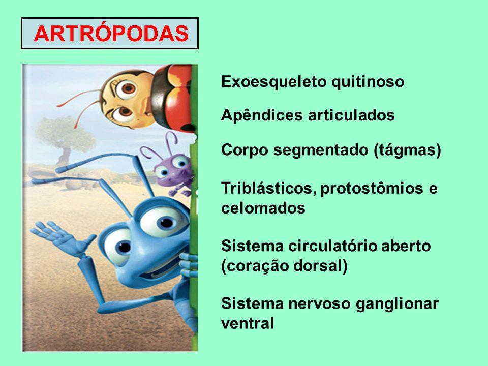 ARTRÓPODAS Exoesqueleto quitinoso Apêndices articulados