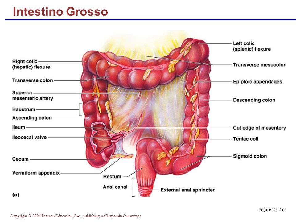 Intestino Grosso Figure 23.29a
