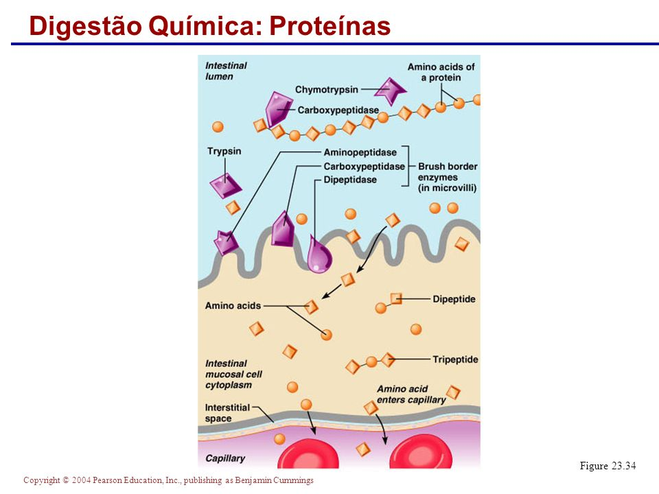 Digestão Química: Proteínas