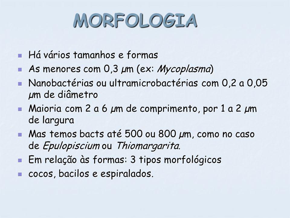 MORFOLOGIA Há vários tamanhos e formas