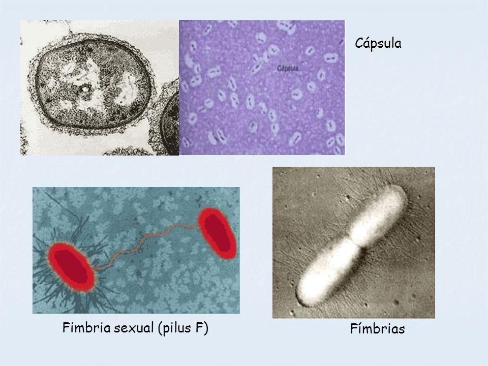 Cápsula Fimbria sexual (pilus F) Fímbrias