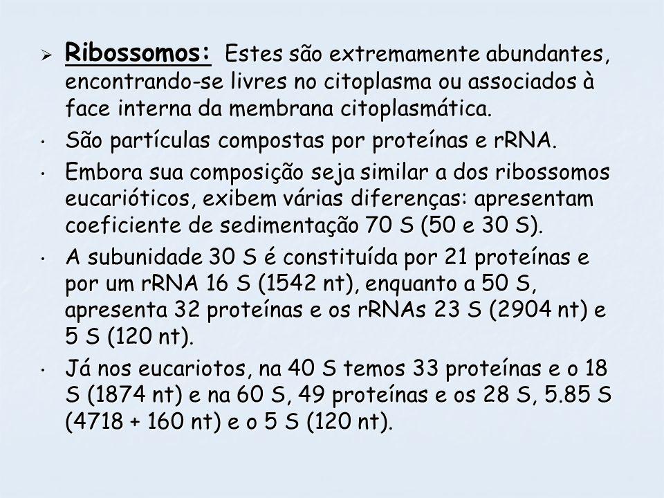 Ribossomos: Estes são extremamente abundantes, encontrando-se livres no citoplasma ou associados à face interna da membrana citoplasmática.