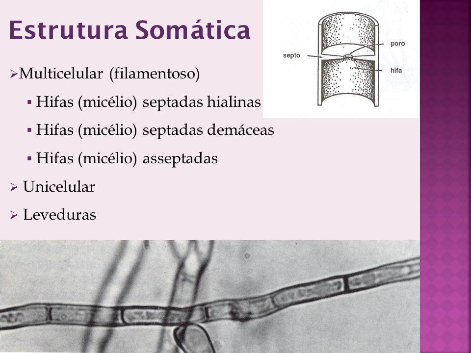 Estrutura Somática Multicelular (filamentoso)